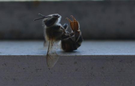 A dead Honeybee :(