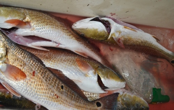 Now those are Redfish!