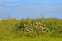 Ripe cactus fruit