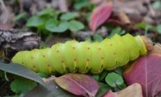 caterpillar 017 (1024x620)