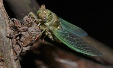 cicada emerging past dusk