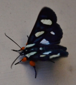 The Eight Spotted Forester Moth