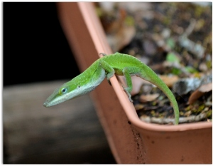 The Anole