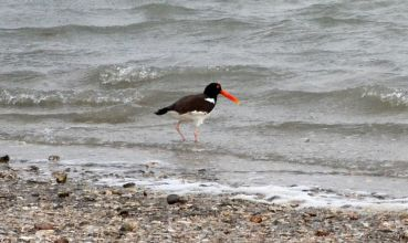 The American Oystercatcher