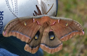Polyphemus Mammoth Moth in Summer