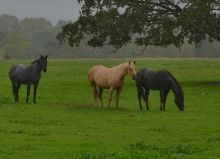 Horses in Rain1