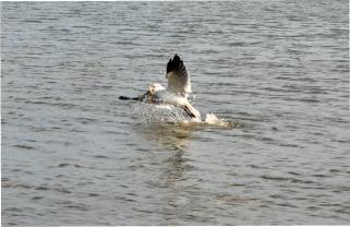 Laughing gull fishing