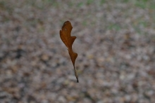 drifting leaf2