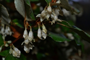 elaeagnus bloom