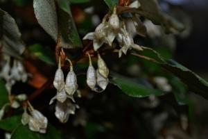 elaeagnus bloom