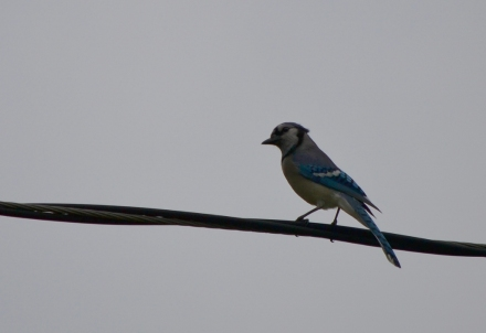 Bluejay keeping watch.