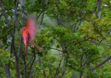 Cardinal catching a wave.