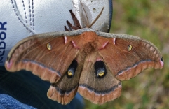 Polyphemus Moth on Rebok