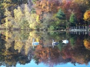 Sue's Swans