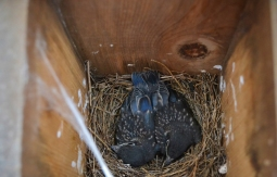 new birds-blue birds (3)