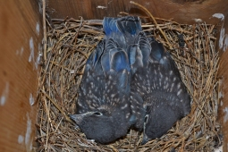 new birds-blue birds (4)
