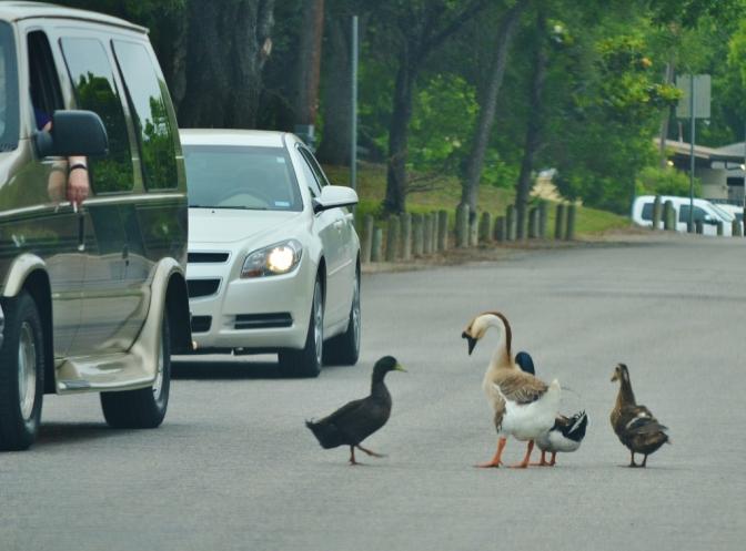 Duck Duck Goose(1024x758)