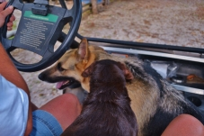golfcart canines