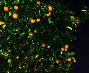 Orange Tree in Night Dew