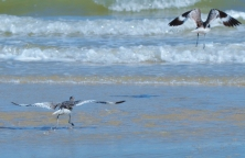 Running bird
