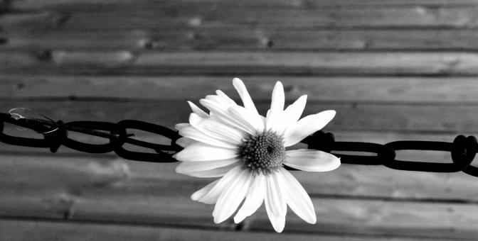 B&W #DaisyChain (1280x649)