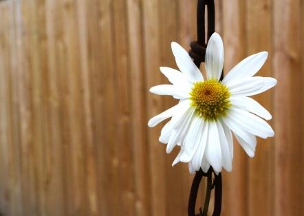 #DaisyChain (1280x910)