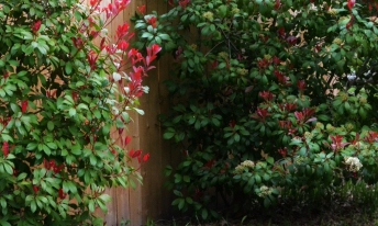 RED TIPPED PHOTINIA (1024x616)