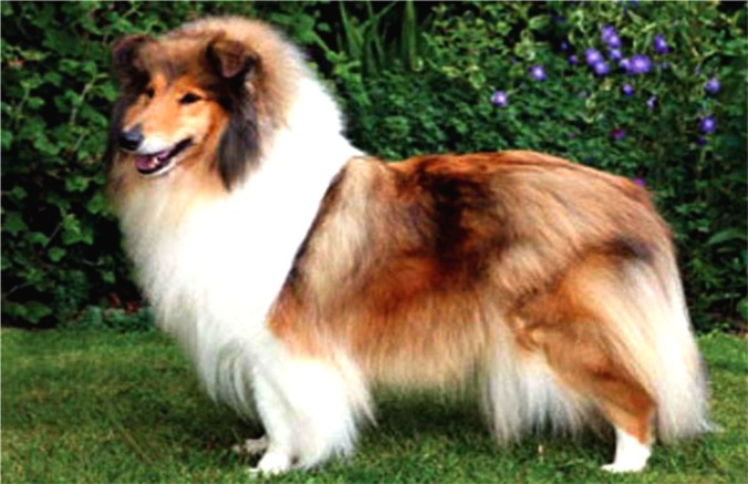 Collie (photo provided by Regis Auffray)