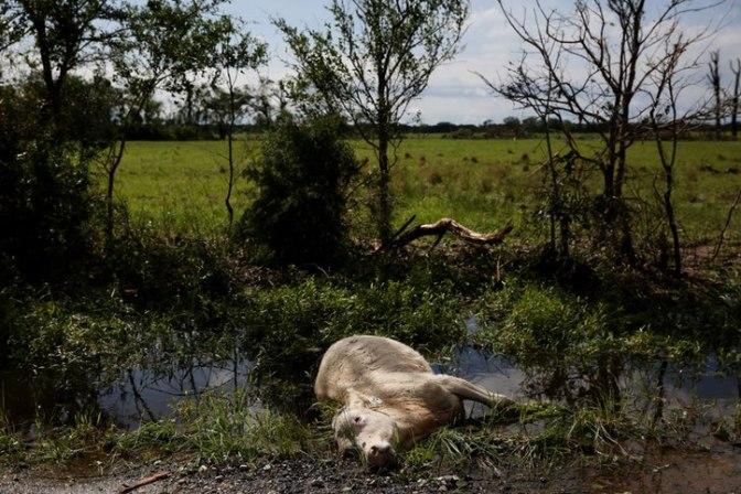 Dallas News dead cow