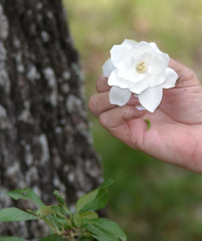 picking gardenias