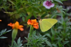 CLOUDE SULFUR BUTTERFLY (4) (800x533)