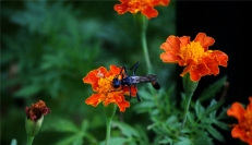 wasp and spider in marigold (800x464)