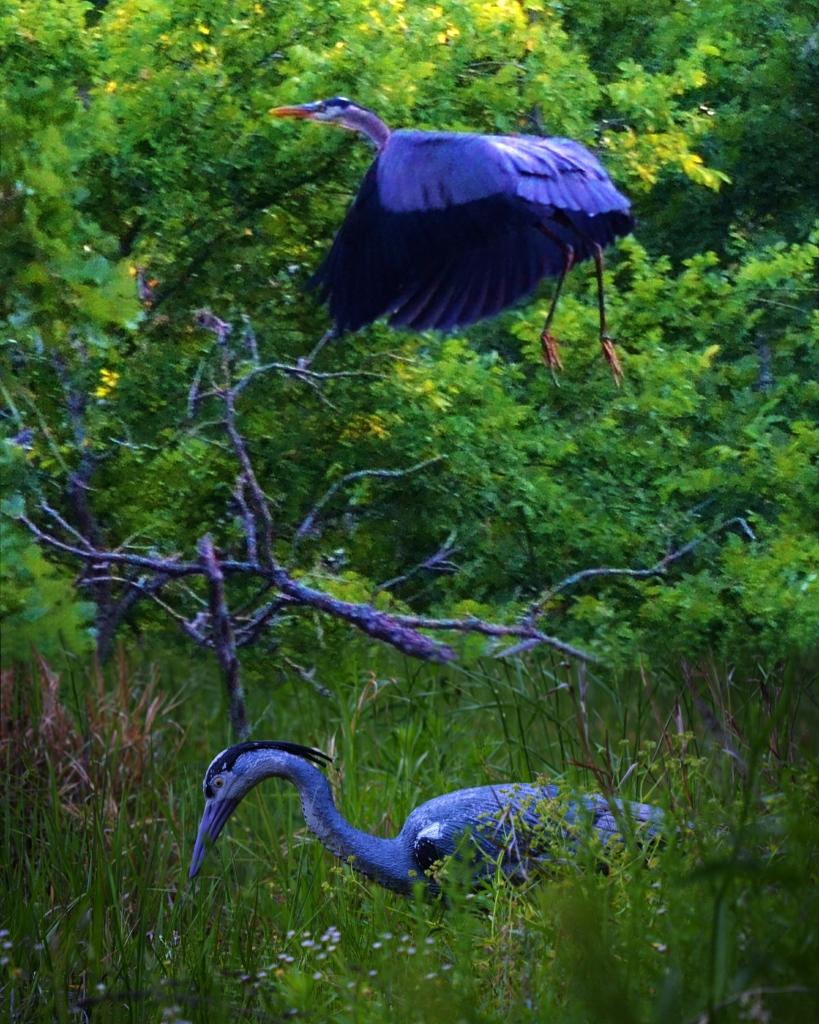 Blue Herron (8) (819x1024)