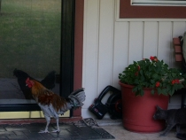 ROOSTER BY THE HOUSE (5) (1024x770)