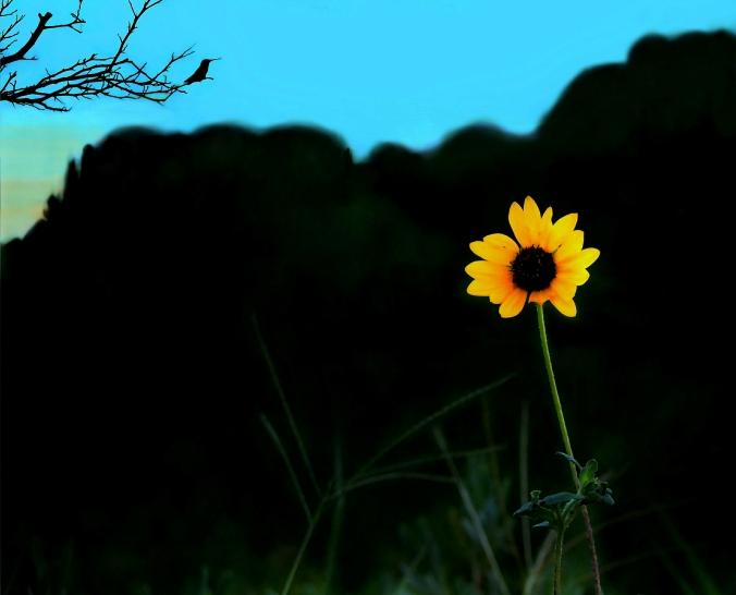 Sunflower-Hummingbird at sundown