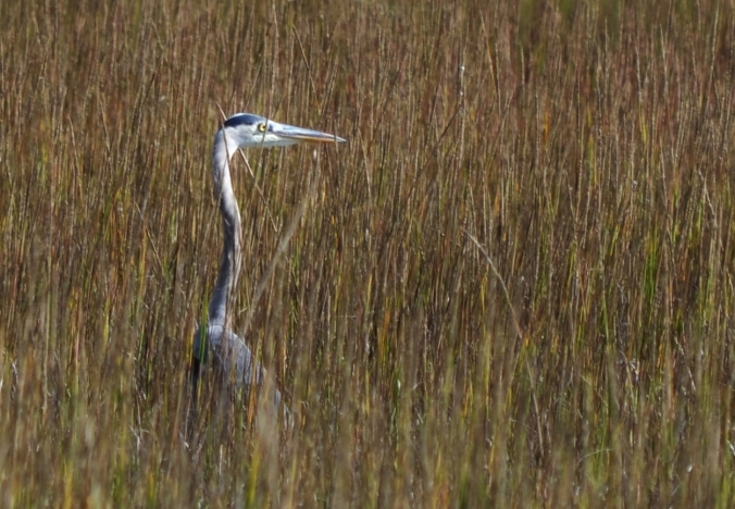 Crane in Saltgrass end of November