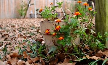 marigolds in pot (1024x618)