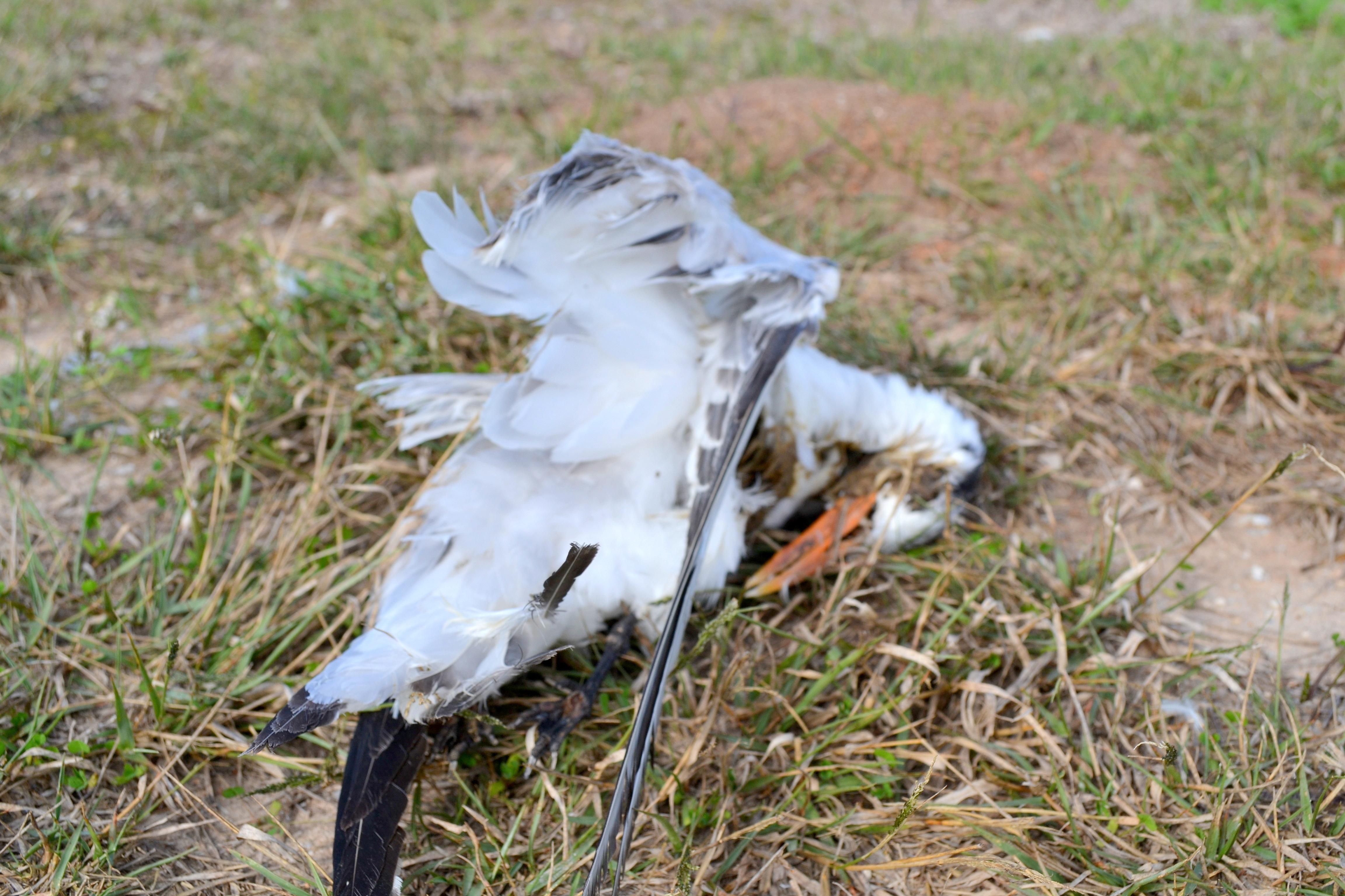 dead gull (2)